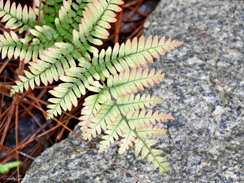 Soft shades of the autumn fern in spring @FanningSparks