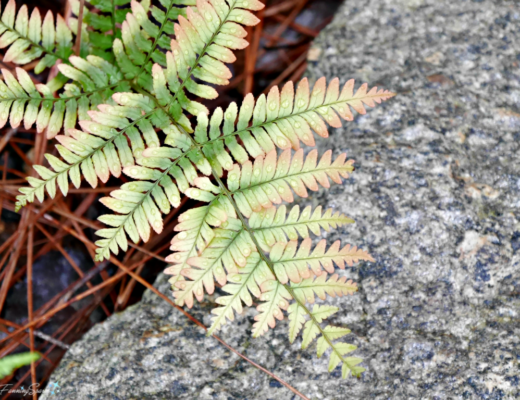 Soft shades of the autumn fern in spring. @FanningSparks