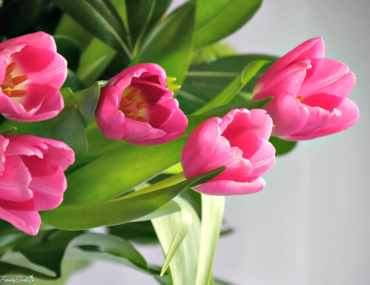 Pink tulips in springtime