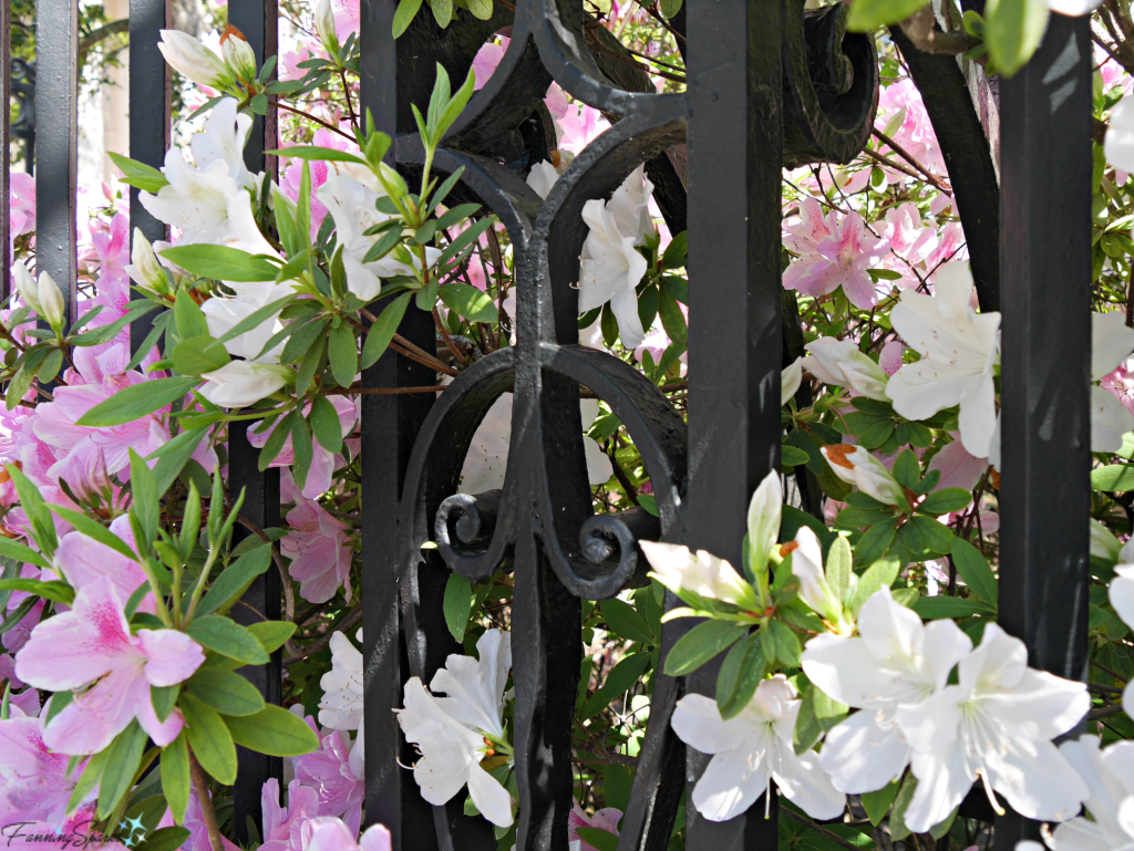 Azaleas in full bloom against a wrought iron fence @FanningSparks