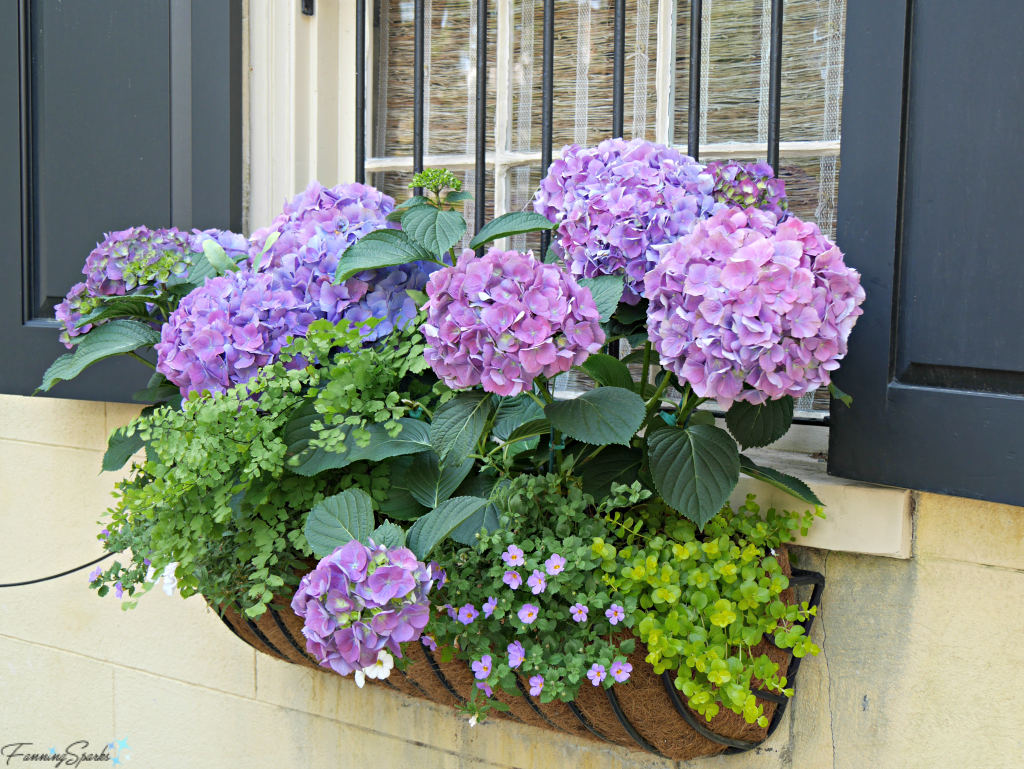 Window box with hydrangea @FanningSparks