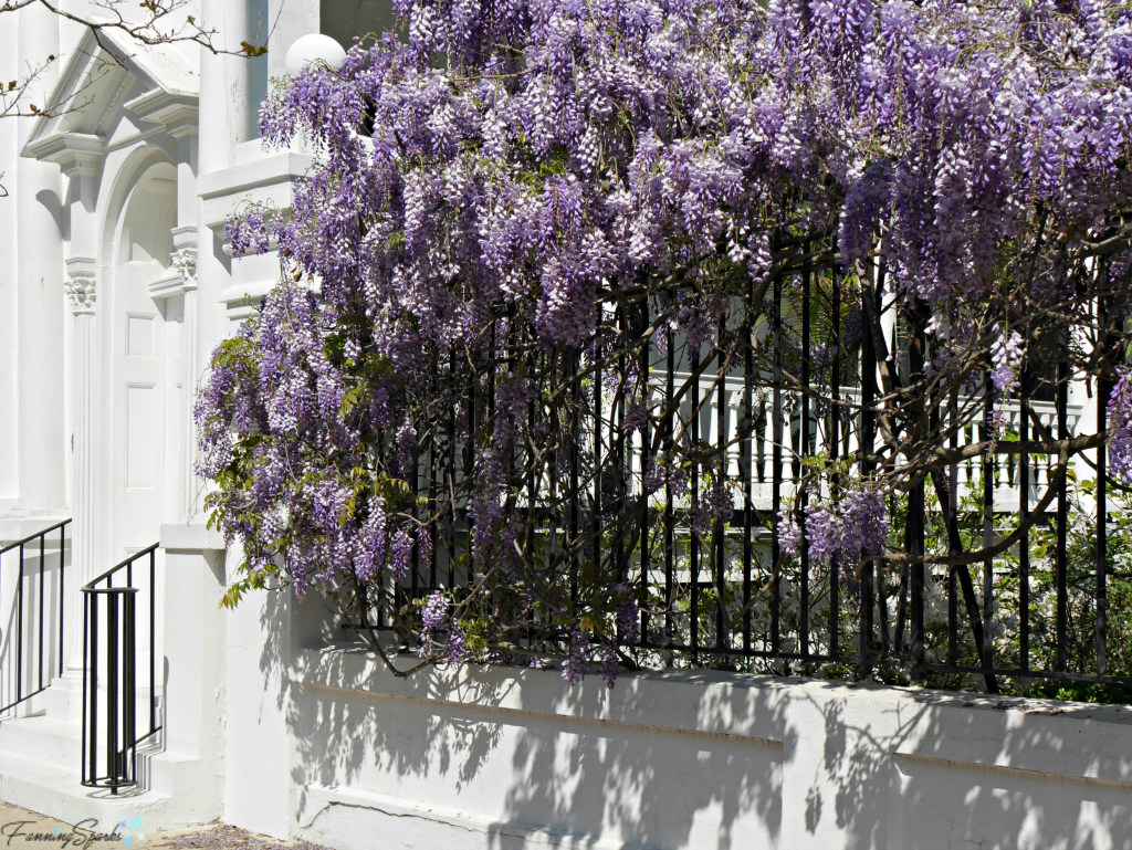 Wisteria in full bloom on Meeting Street in Charleston SC. @FanningSparks