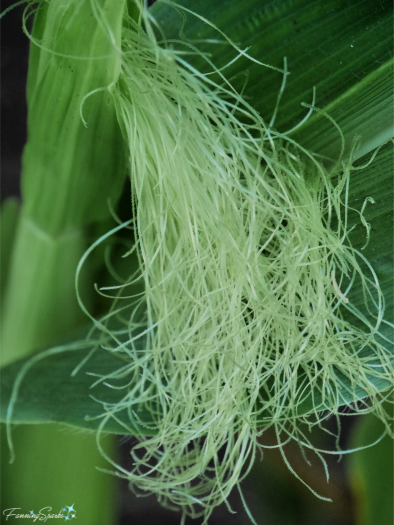 Garden Corn Tassels have Silky Stringy Texture.   @FanningSparks