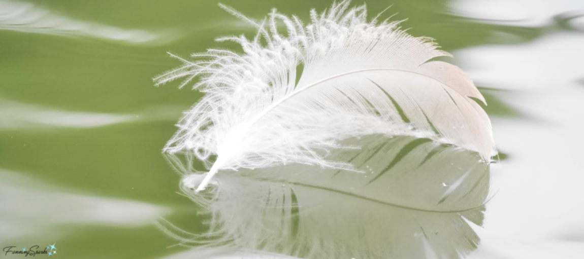 Soft Downy Texture of a Goose Feather. @FanningSparks