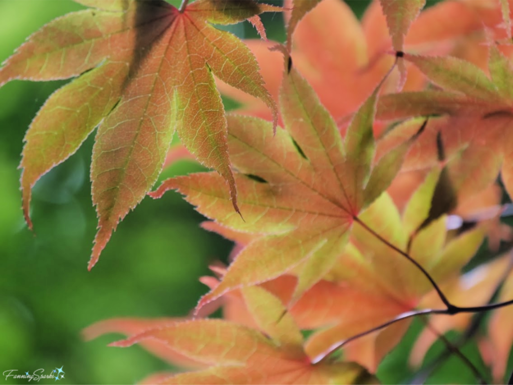 Japanese Maple Leaves have Delicate Veined Texture.   @FanningSparks