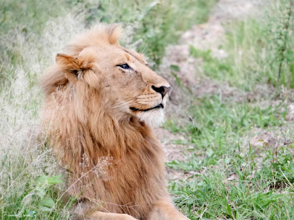 Magnificent Lion photographed on safari in South Africa.   @FanningSparks