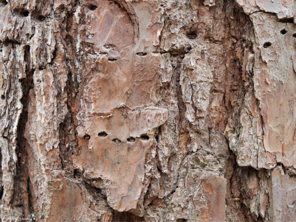 Pine Bark has Rough Varied Texture.   @FanningSparks